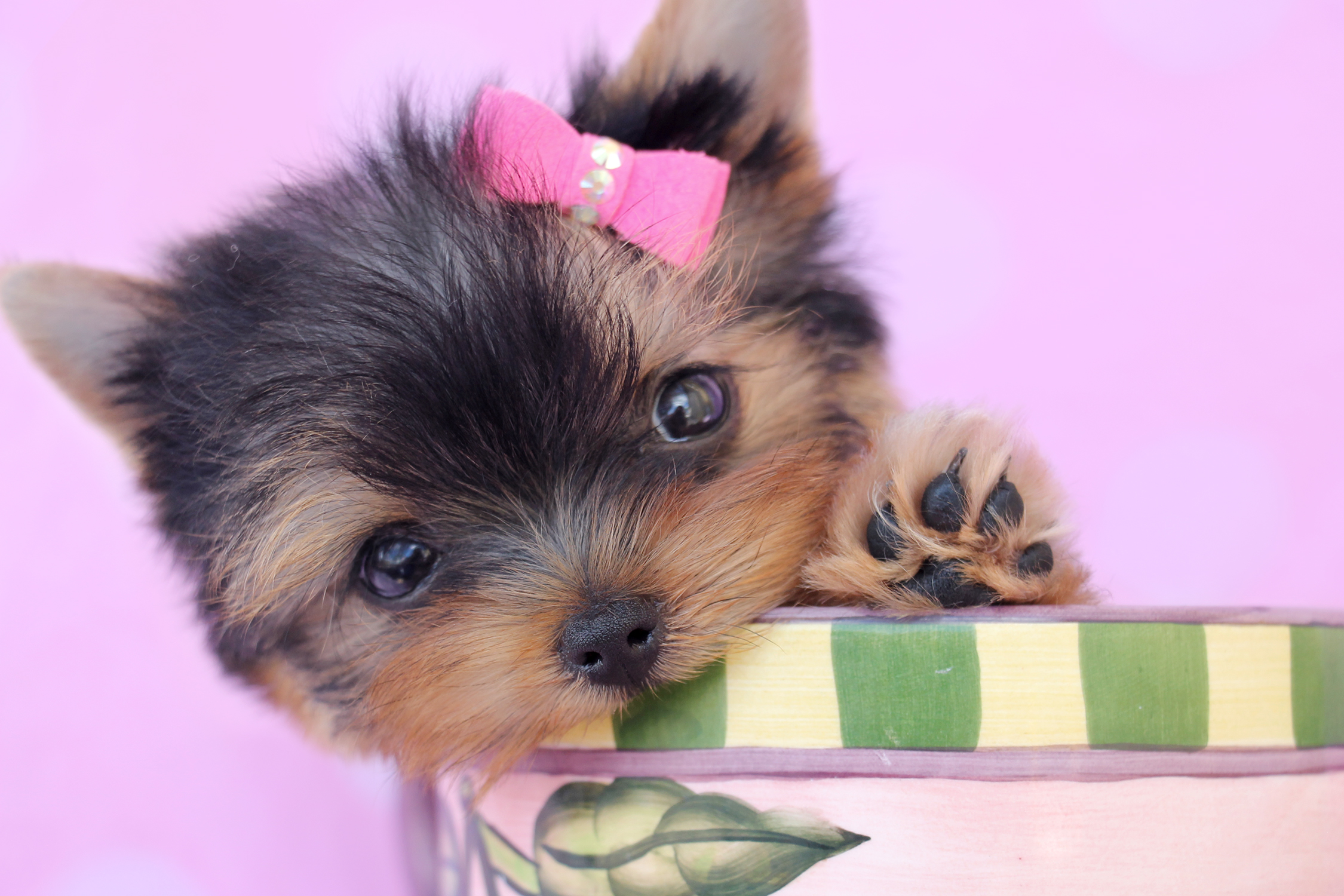 Yorkshire Terrier Puppy For Sale At Teacups Puppies South