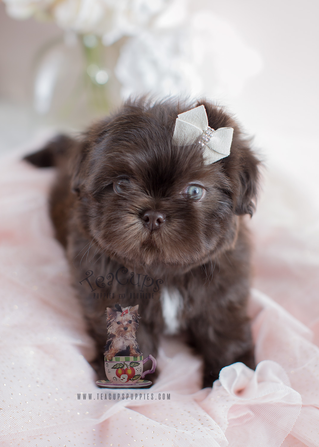 Salon Miniature Adorable Little Shih Tzu Puppies For Sale | Teacups