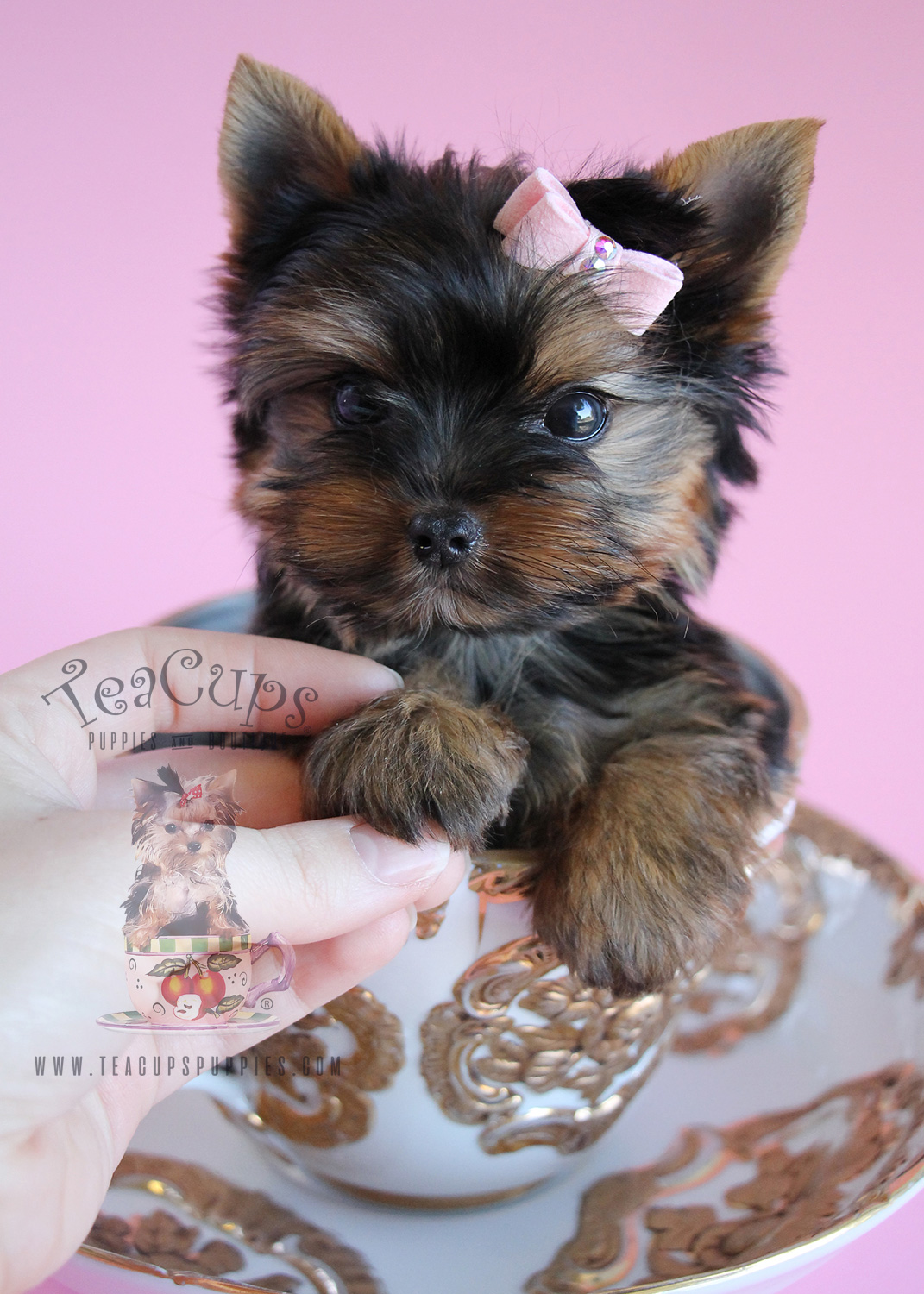 Salon Miniature Delightful Little Yorkie Puppies South Florida | Teacups