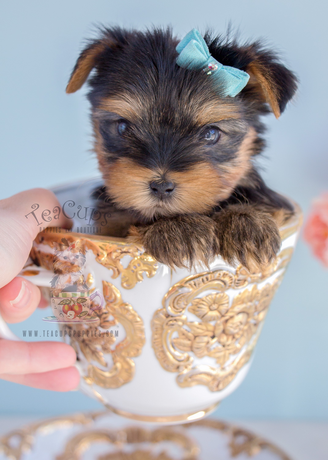 Yorkshire Terriers By Teacups Puppies And Boutique