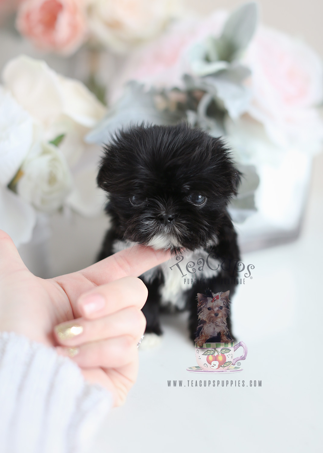 Miniature Shih Poo Puppies For Sale Shih Tzu And Pomeranian Mix