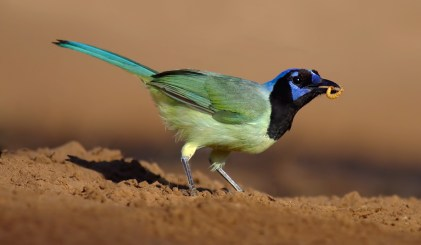 Green Jay with Mealworm