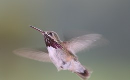 pause_in_flight_calliope_hummingbird