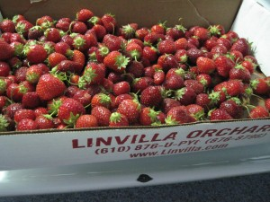 Pick Your Own Strawberries - Linvilla Orchards