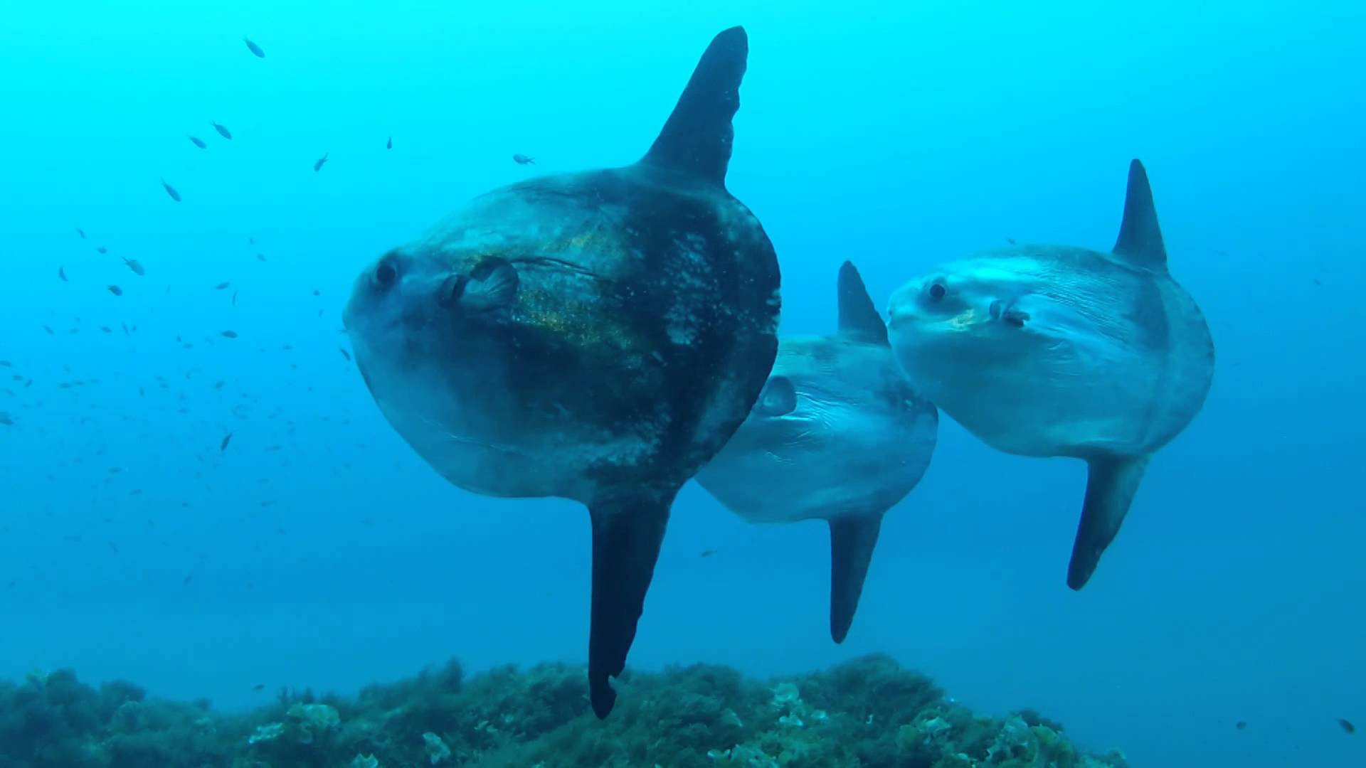 Google Image Cute Wallpapers Holy Mola Mola World S Largest Bony Fish Recorded Watch