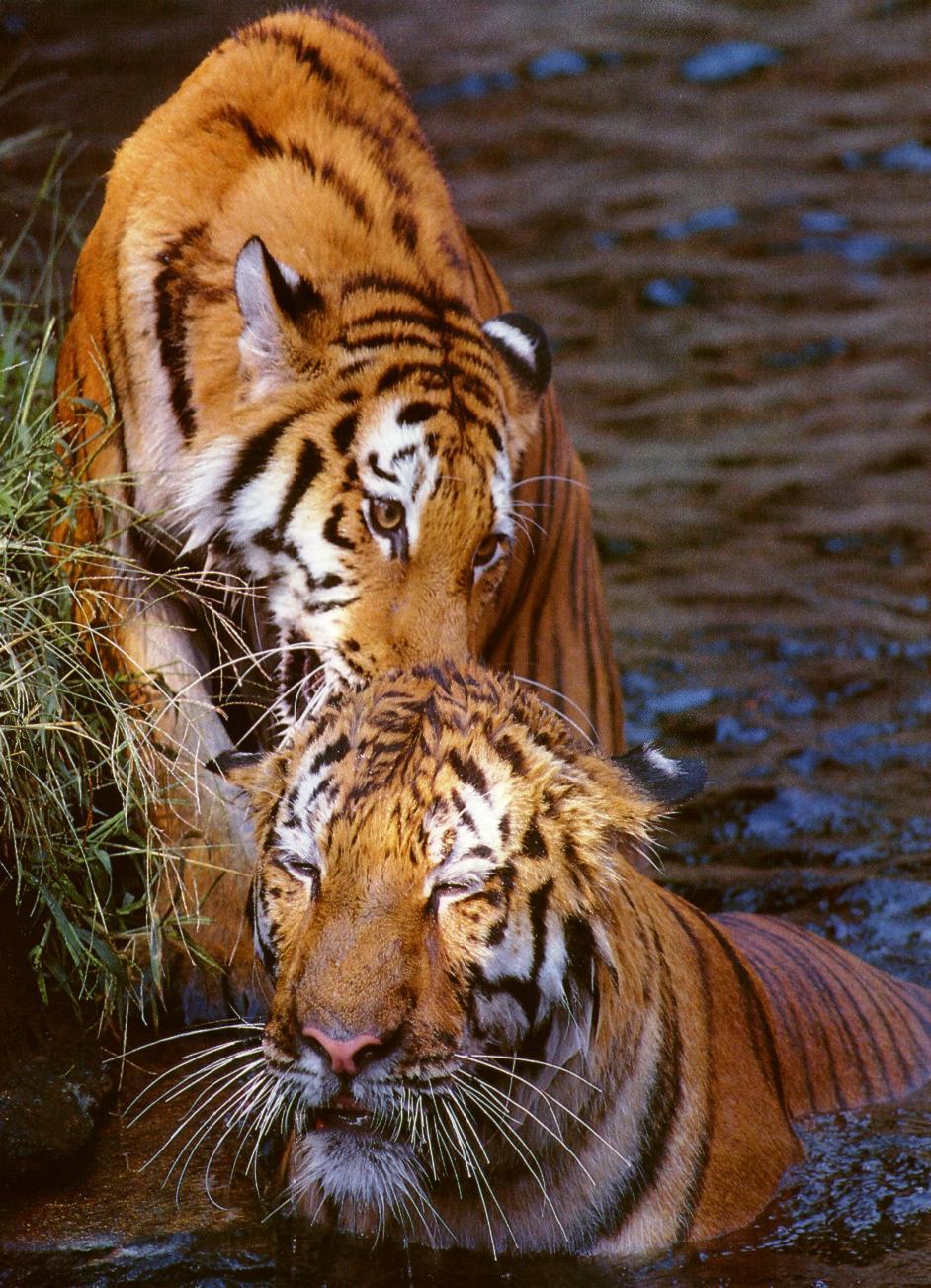 Animated Jungle Wallpaper La Vie Du Tigre