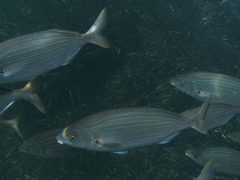 sarpa salpa fish