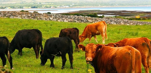 Cows in Co Clare