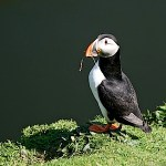 Puffin_Isle-of-May-tm.jpg