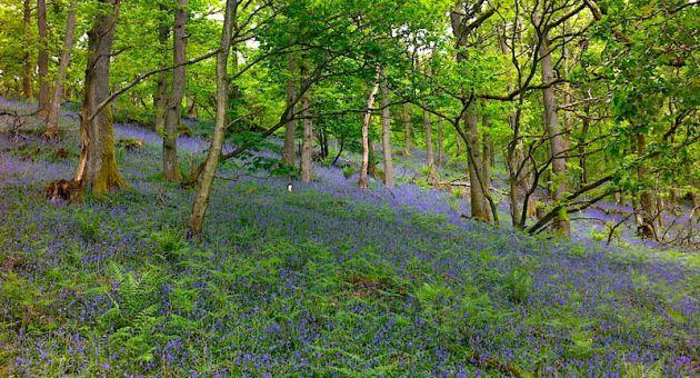Bluebells Perthshire Spring