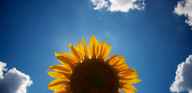 Sunflower-Provence