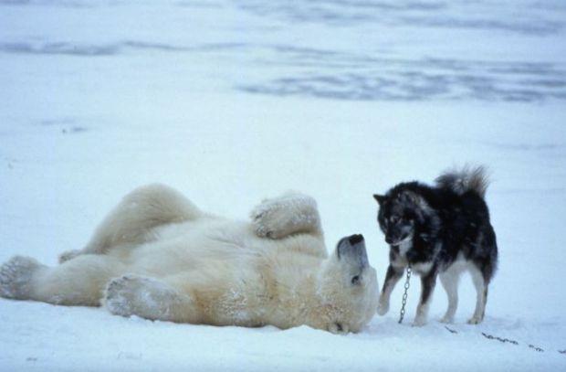 Polar Bear Husky Rub My Tummy?