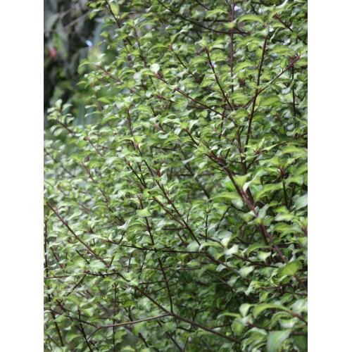 Medium Crop Of Pittosporum Silver Sheen