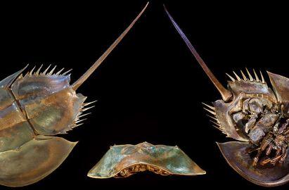 alien1 - La extraordinaria sangre del cangrejo herradura