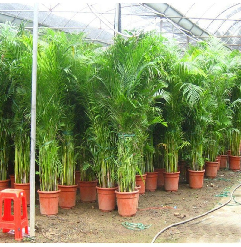 Egrow 5pcs Pack Indoor Palm Tree Seeds Chrysalidocarpus