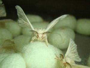 monster-spider-silk-moths