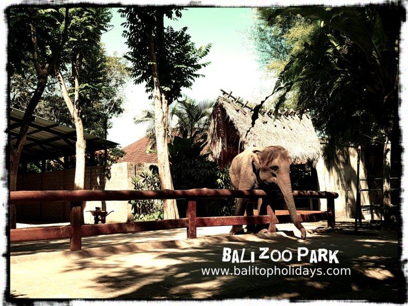 gajah-bali-zoo
