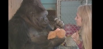 When You Hand This Gorilla A Stuffed Animal She Tries To Baby Them
