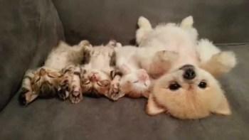 赤ちゃんポメラニアンと3匹の子猫がいっしょにうたた寝