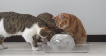 10 Cats to Enjoy Ice Ball 丸い氷を楽しむ10匹の猫   YouTube