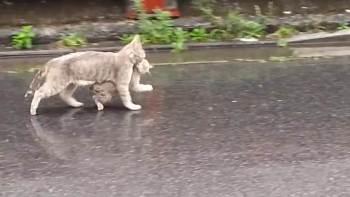 thumb-「急げ急げ〜!」雨のなか仔猫をくわえて急いでおうちへ帰るお母さん猫