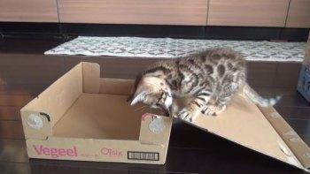 thumb-思わず笑顔に!段ボール箱で遊んでいた仔猫に起きたかわいいハプニング!
