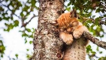 ノルウェーでとっても可愛い眠り方をする山猫を発見!-その姿に世界中が胸キュン♡