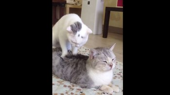 「お客さん、こってますね〜」-モミモミマッサージしてもらってる猫の気持ちよさそうな表情!
