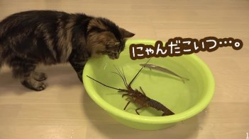 初めて見る伊勢エビに興味津々!-怖くても好奇心には勝てないネコたち