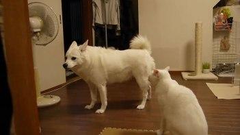 何もしてないのにネコに怒られる犬・・・そしてついに行動に出る!