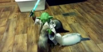 -1  Nikki Namias   Yoda Training Ferrets
