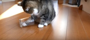 ひろぶろ   【動画】 日本の人気ネコ飼い主が考えた「ネコの利き手」を調べる方法が海外で話題