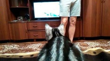 お父さん邪魔しないで… テレビに集中しているネコさんの前に立ちふさがってみた