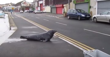 VIDEO  Cheeky Seal Crosses The Road Every Day For One Hilarious Reason.