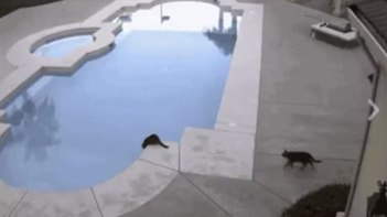 プールをのぞき込んでいるネコさん・・・その後ろからもう一匹が・・・あ、やっぱり(笑)