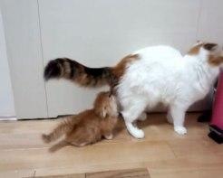 「あわわわわっ」まさかのハプニング!マンチカンの子ネコさんがびっくりして倒れてしまう姿に駆けつけて抱きしめたくなる!