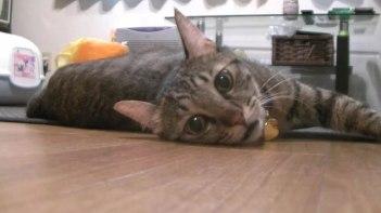 今日は暑いニャ・・・転がりながら涼しいところを探すネコさん!
