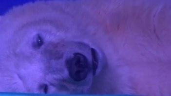 中国のショッピングセンターで飼育されている「世界一不幸なシロクマ」その飼育実態に怒り心頭