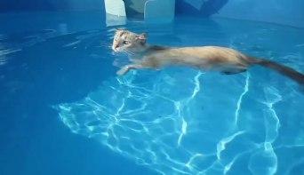 「スイスイスイ~♪」プールを優雅に泳ぐネコさん!はたしてその腕前は・・・。