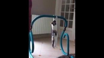 よいしょ!よいしょ!-ネコだってトレーニングするもん!懸垂を頑張るネコさん!