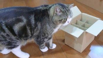 箱大好きネコのまるちゃん!今回は仕切られた箱に挑戦!果たしてマルちゃんは・・・