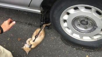 車をジャッキアップしようと思ったら子ネコさんが猛烈な勢いでやりたいアピール!可愛すぎて車なんかどうでも良くなる!