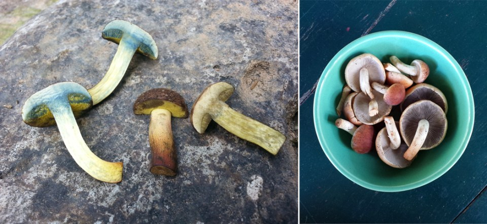 left: Red-cracked boletes with bluing flesh. right: Brick tops.