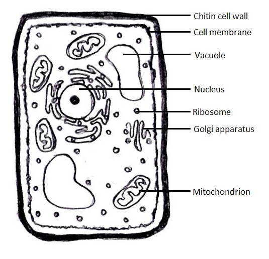 fungal cell diagram