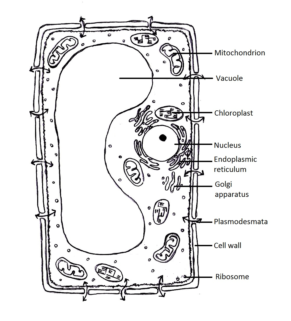 plant cell vacuole diagram plant cell