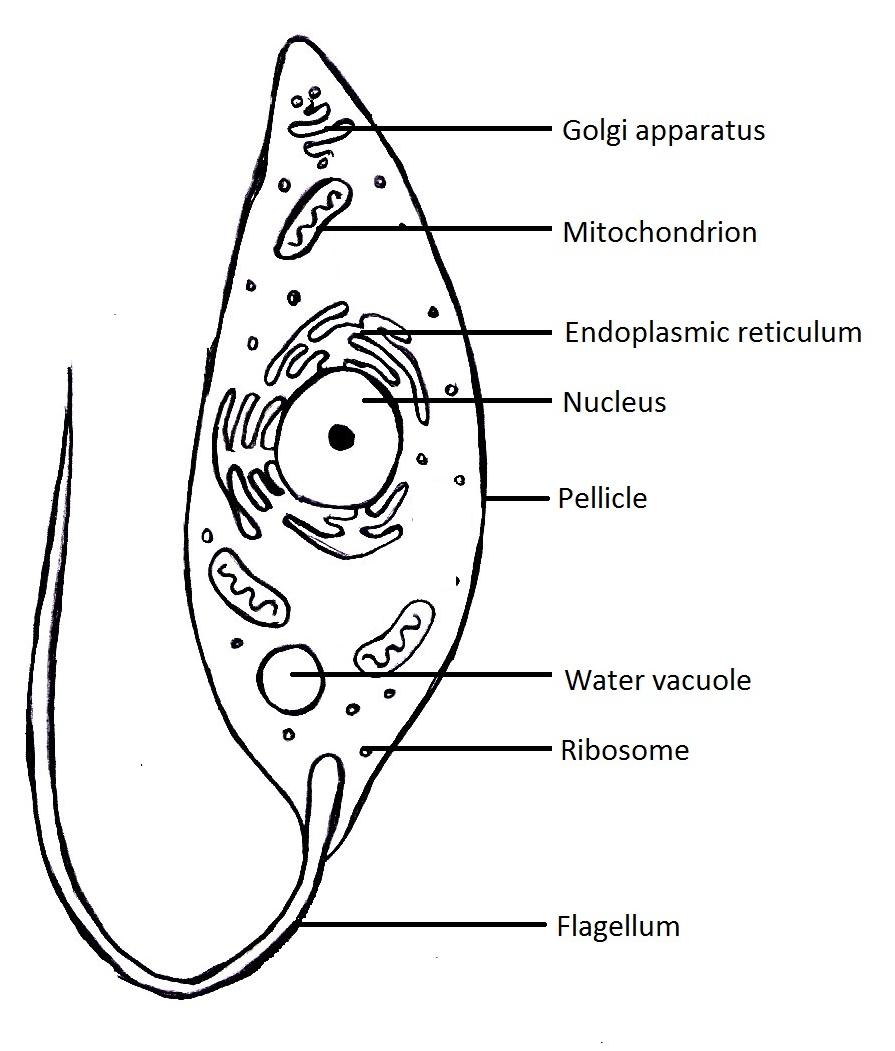 volvox protist diagram