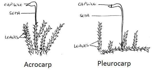 diagram of hornwort