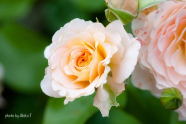 akiko_rose-15