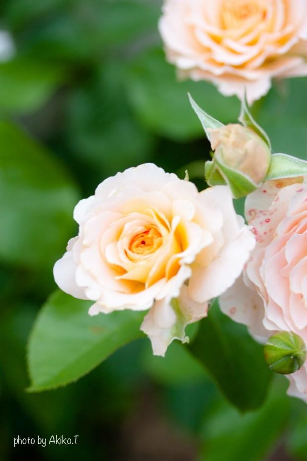 akiko_rose-16