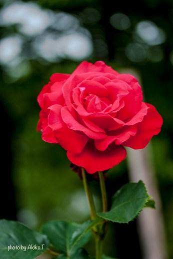 akiko_rose-25